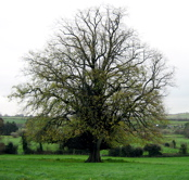 Tree in Ireland